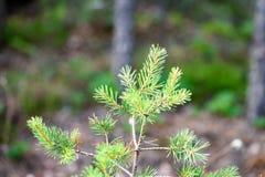 frische Blätter des vibrierenden grünen Frühlinges des Baums im Frühjahr Stockfoto