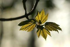Frische Blätter fangen spätes Sonnenlicht Lizenzfreies Stockfoto