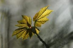 Frische Blätter im Vorfrühling Stockfoto
