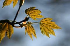 Frische Blätter im Vorfrühling Stockbild