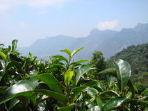 Frische Blätter von Teeplantagen Stockbilder