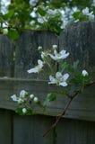 Frische blühende Himbeere blüht, wachsend durch Zaun Stockbilder