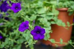 Frische blühende und knospende purpurrote Petunien Farbe der weichen Blumenblätter blühen im braunen Topf mit dem hellgrünen unsc lizenzfreie stockbilder