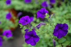 Frische blühende und knospende purpurrote Petunien Farbe der weichen Blumenblätter blühen mit dem hellgrünen unscharfen Hintergru lizenzfreies stockfoto
