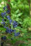 Frische Blaubeere auf dem Baum Lizenzfreie Stockfotos