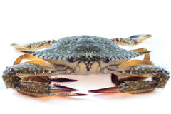 Frische blaue Krabben Stockbild