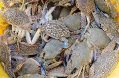 Frische blaue Krabben Stockfotos