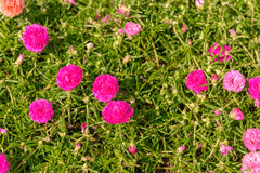frische Blume schönes buntes portulaca oleracea am Morgen Stockfotografie