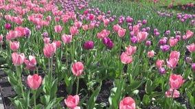 Frische Blumen rosa und purpurrote Tulpen Abschluss oben stock video