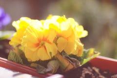Frische Blumenfrühlingsblumen in einem Topf draußen stockfotos