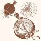 Frische braune Zwiebeln des Vektors gravieren Zeichnung Stockfoto