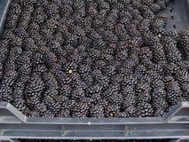Frische Brombeeren am Landwirtmarkt Stockbilder