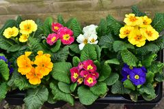Frische bunte Blumensträuße der Frühlingsblumen, Primel, auf dem Marktzähler stockfotos