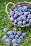 Frische Damaszenerpflaumepflaumen (Prunus insititia) Lizenzfreie Stockfotos
