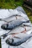 Frische Dorado-Fische in der Folie Stockfotografie