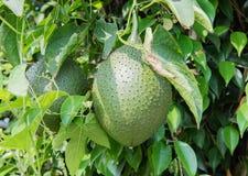 Frische Durianfrucht wächst in einem Baum in Hanoi, Vietnam lizenzfreies stockbild