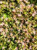 Frische Edelweiß-Blumen stockbild