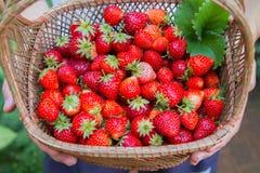 Frische Erdbeere Lizenzfreie Stockbilder