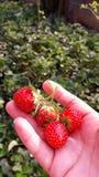 Frische Erdbeere in der Hand Lizenzfreies Stockbild