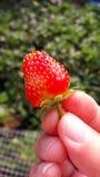 Frische Erdbeere in der Hand, Blackground-Grün-Natur Lizenzfreie Stockfotografie