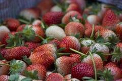 Frische Erdbeere im Garten Lizenzfreie Stockfotos