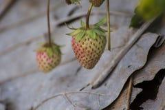 Frische Erdbeere im Garten stockfotografie