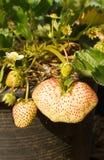 Frische Erdbeeren, die auf der Rebe wachsen Lizenzfreie Stockfotos