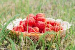 Frische Erdbeeren in einem Weidenkorb auf grünem Gras lizenzfreies stockfoto