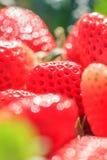 Frische Erdbeeren mit Morgentau in den nat?rlichen Hintergr?nden, Aussehung wie ein Juwel Sch?nes bokeh mit dem Funkeln Organisch lizenzfreie stockfotografie