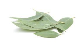 Frische eukalyptus Blätter Lizenzfreie Stockfotografie