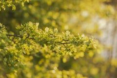 Frische Federbl?tter im goldenen Stundensonnenschein lizenzfreie stockfotos