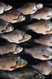 Frische Flussfische Stockfotos