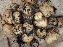 Frische Frühkartoffeln lizenzfreies stockbild
