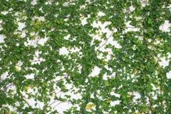 Frische Frühlingsgrün-Blattanlage Stockfoto