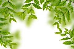 Frische Frühlingsgrünblätter Stockfotografie