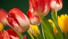 Frische Frühlingstulpen auf grünem Hintergrund Lizenzfreie Stockbilder