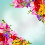 Frische Freesieblumen lizenzfreie stockbilder