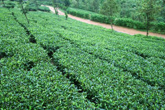 Frische Gärten des grünen Tees Stockbilder