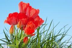 frische Gartentulpen auf abstraktem Frühlingsnatur backgr Lizenzfreies Stockbild