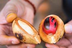 Frische geöffnete Muskatnutsfrucht in den Händen. stockfotos