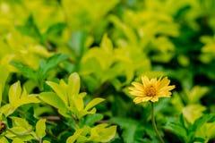 Frische gelbe Blume auf grünem Hintergrund Lizenzfreie Stockbilder