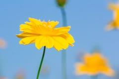 Frische gelbe Blumen auf blauer Himmel baclground Stockfotos