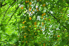 Frische gelbe Pflaumen auf der Niederlassung am Obstgarten Lizenzfreies Stockbild
