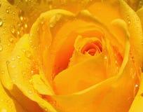 Frische gelbe Rose Lizenzfreies Stockfoto