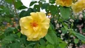 Frische gelbe Rosen im grünen sonnigen Garten Stockfotografie