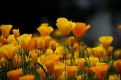 Frische gelbe Tulpen stockbild