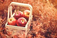 Frische geschmackvolle rote Äpfel im hölzernen Korb auf rotem Autumn Background Stockbild