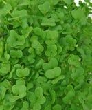Frische gesunde grüne Kresse Stockfoto