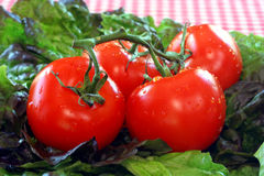 Frische gewaschene Tomaten und Kopfsalat Stockfotos