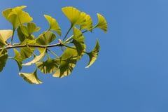 Frische Ginkgoblätter gegen blauen Himmel Lizenzfreie Stockbilder